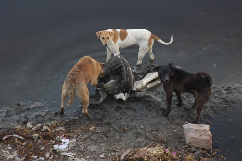 The holy River Yamuna – stinking Water, no Fish and dead Cows – 6 Apr 12